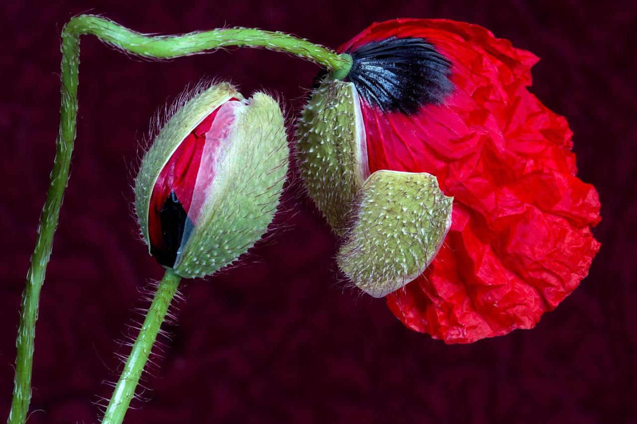 Mohnblume mit Blüte und Knospe